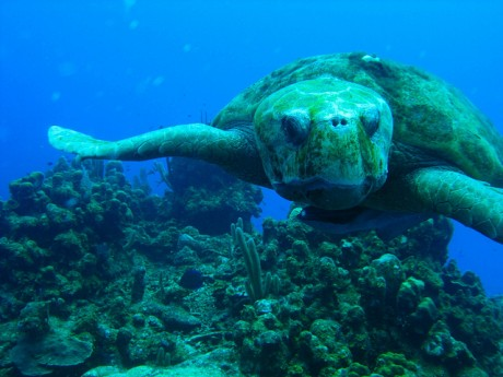 Loggerhead turtle in Belize